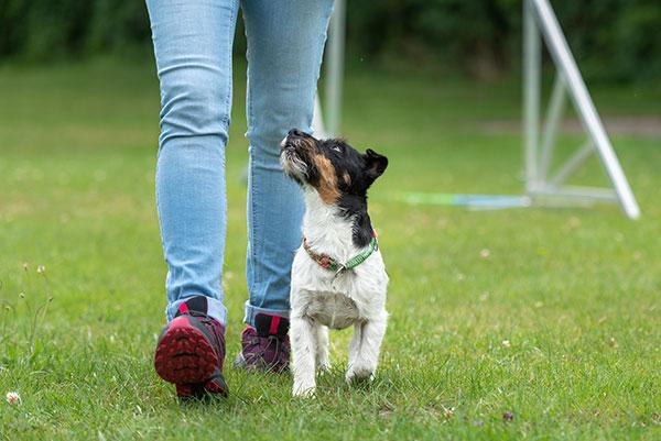 Kleine terrier loopt in heel positie naast baas tijdens beoefenen hondensport obedience.