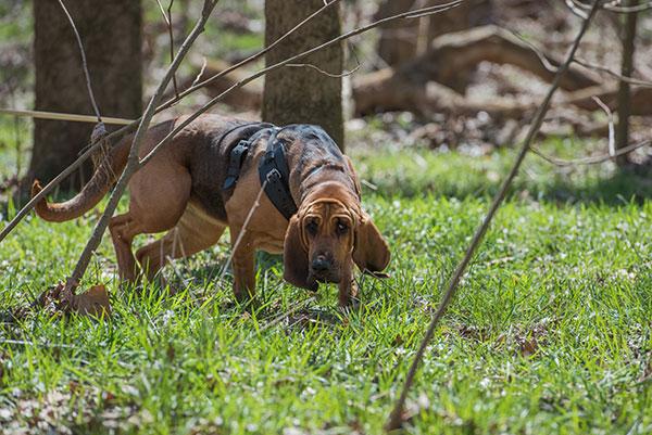 Bloedhond volgt geurspoor tijdens beoefenen hondensport speuren.