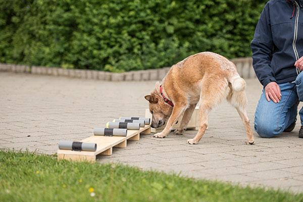 Hond zoekt naar geur tijdens beoefenen hondensport zoeken.