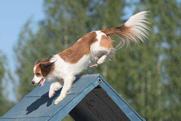 Nederlands kooikerhondje rent over A-frame tijdens beoefenen agility.