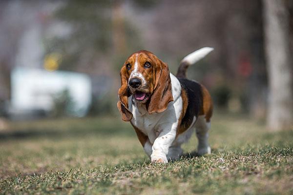 basset-hound-thumbnail