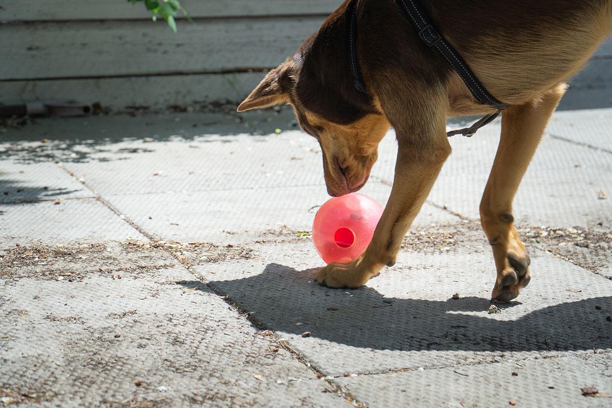 Hond speelt met de Orbee-Tuff Mazee van Dog Planet.