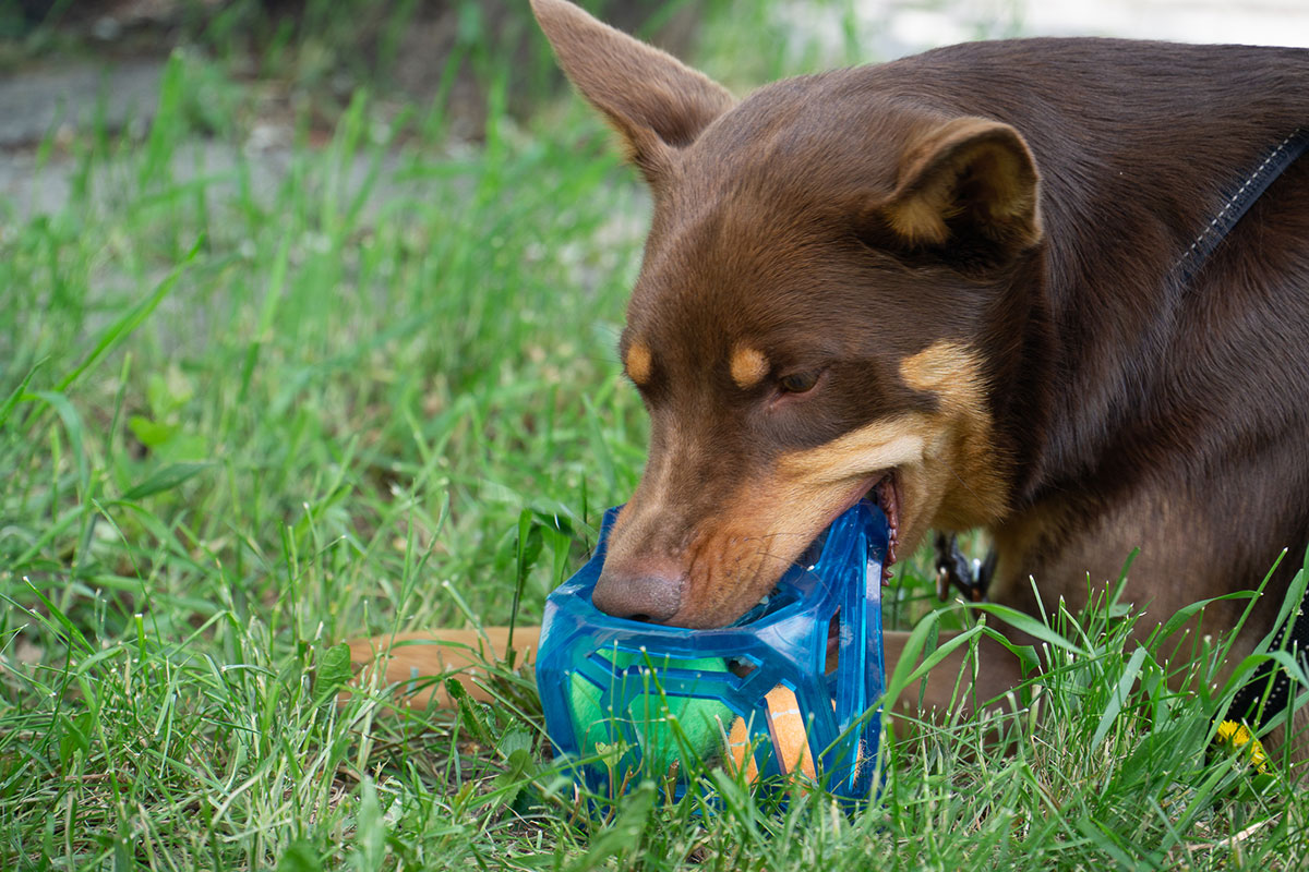 Hond speelt met de Puzzle Cube van Outward Hound.