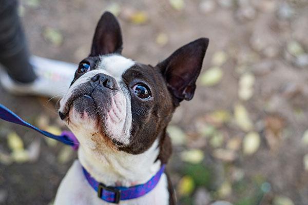 boston-terrier-thumbnail