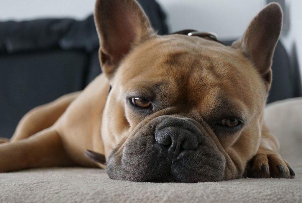 Zieke hond ligt op de grond.