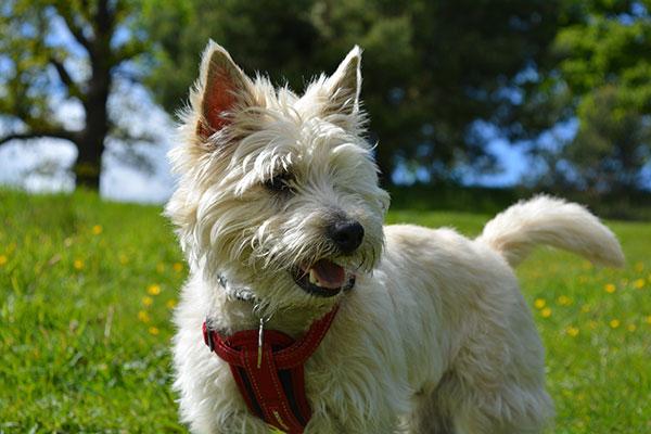 cairn-terrier-thumbnail