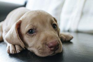 Puppy kijkt verdrietig in camera.