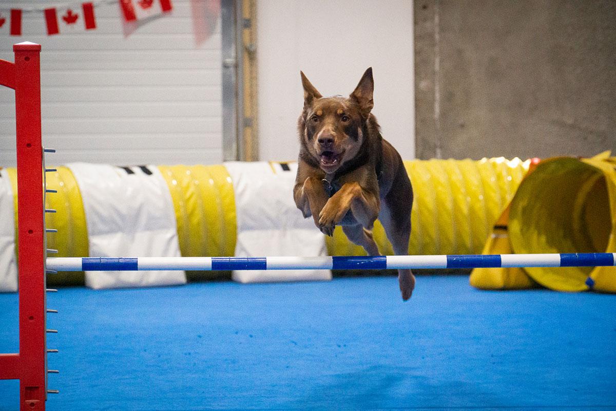 Hond springt over horde in zaal voor behendigheid.