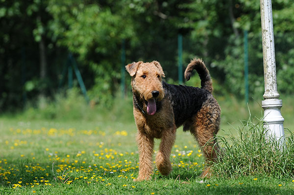 airedale-terrier-thumbnail