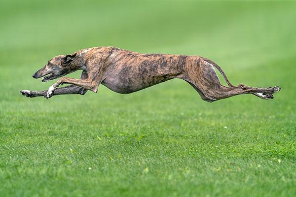 greyhound-thumbnail